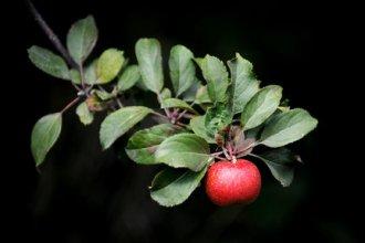 apple1-th-c2--thuiq-43e1220f33b1c0fd_large